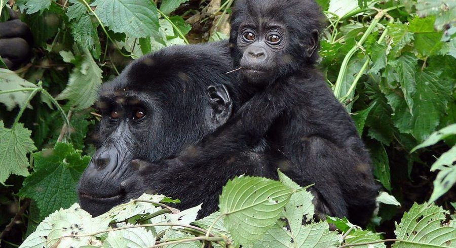 Gorilla Safaris in Ruanda