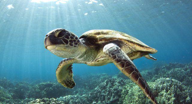 Unterwasseraufnahme von Meeresschildkröte und Korallen