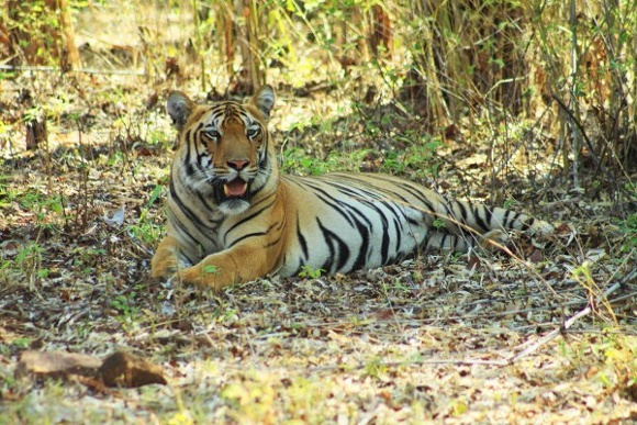 Tucked Away Wildlife in India: Introducing Tadoba
