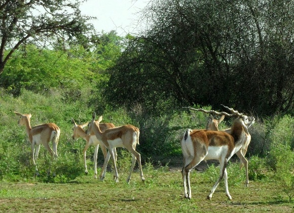 The Black Buck Beliefs of Bishnoi Nature Worshipers of India