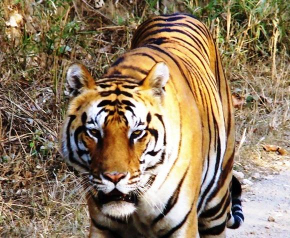 Tiger, tiger! Enchanting Travels wins Taj Travel Awards