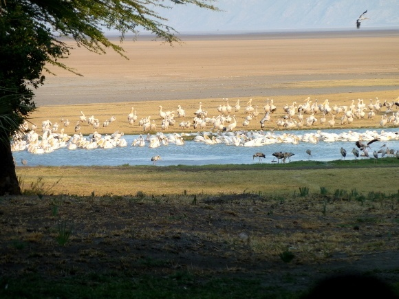 Pelicans over Lake Eyasi, Northern Tanzania