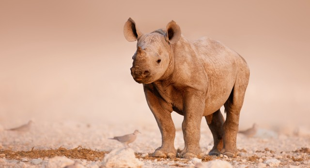 A baby black rhino at Etosha in Namibia, Africa