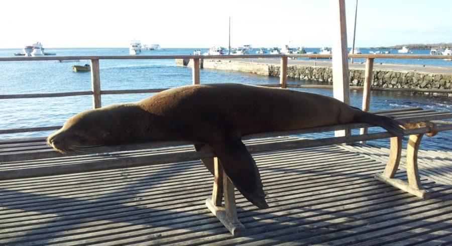 Seelöwe liegt auf einer Bank am Hafen von Santa Cruz, Galapagos-Inseln