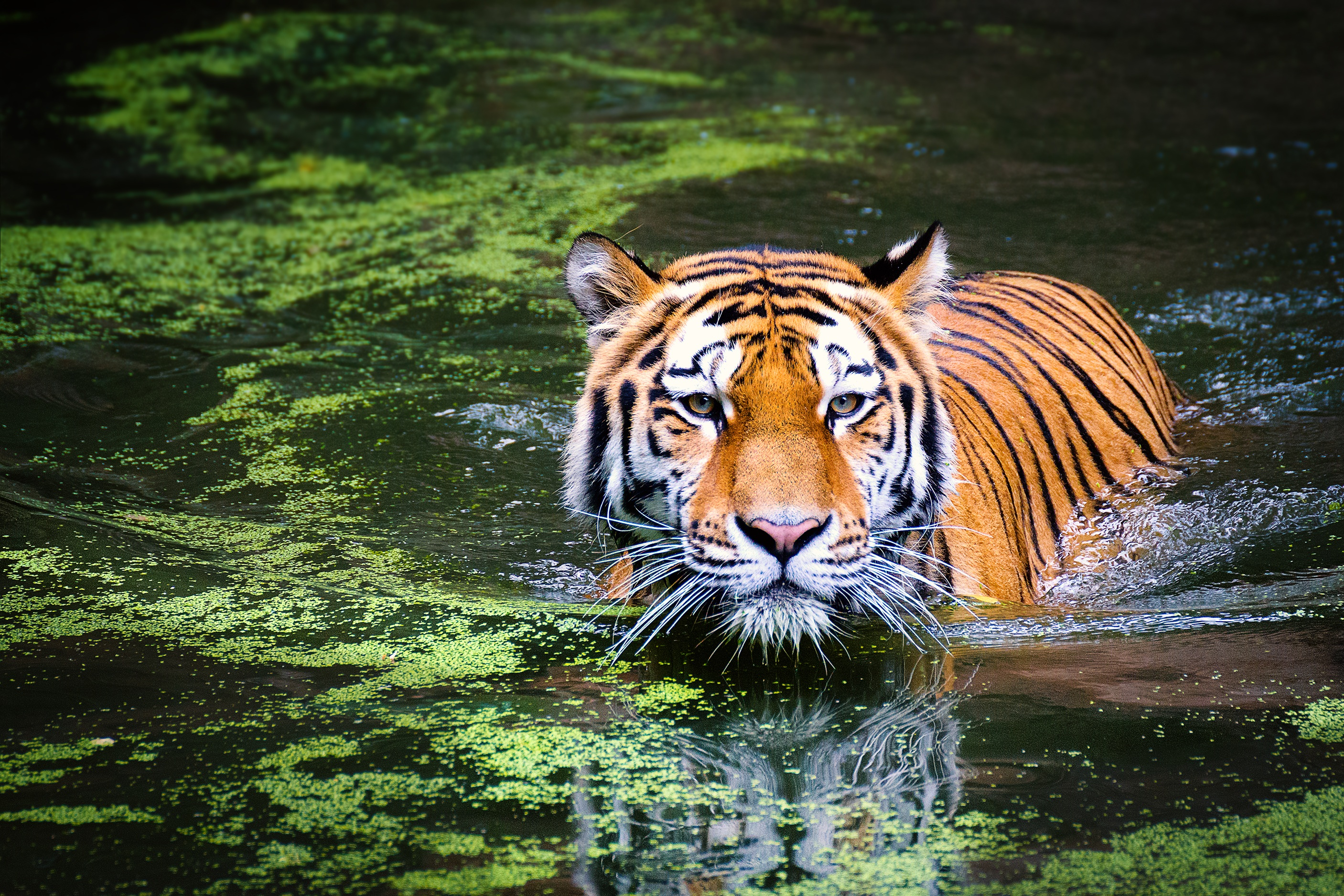 safari in india: meet the royal bengal tiger | enchanting travels